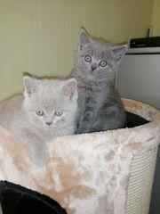 Bkh Scottish fold Kitten sucht