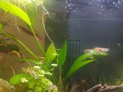 Endler Guppies red fire
