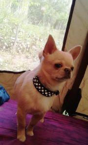 Toller Chihuahua Deckrüde mit Erfahrung