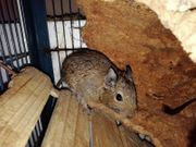 Degus Tiere in Not Saar