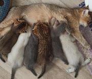 Scotish Fold BKH Kitten