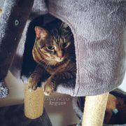 Wir suchen einen kitten Bengal