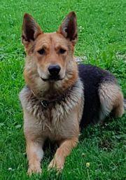 Bildhübsche reinrassige deutsche Schäferhündin Schäferhund