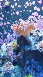 Meerwasser Anemonen Korallen kompletter Inhalt