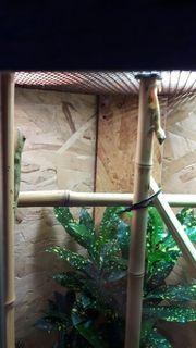 Gecko Madagaskar Taggeckos Jungtiere