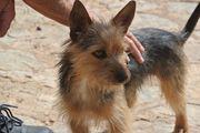 BOOMER Yorkshire Terrier - ein perfekter