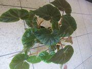Zimmerpflanzen Aloe Vera Pepperonia Philodendron