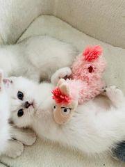 BKH Kitten mit blauen und
