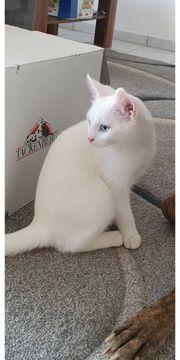 Weißer Deckkater mit blauen Augen