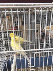 Wasserschläger Kanarienvögel