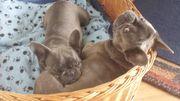 Französische Bulldoggen Welpen - Eltern sind