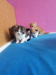 Babykatzen sibirische Waldkatze BKH mix