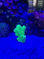 Hydnophora neon gelb