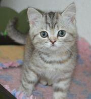 BKH-Kitten reinrassig ohne Pap abzugeben