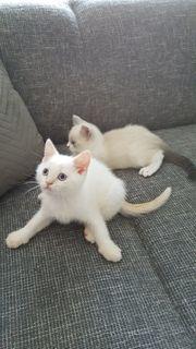 Noch 2 BKH Kitten Jungs