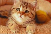 BKH Gold Shaded Spoted Kitten