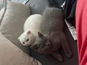 bkh Katzen Weibchen