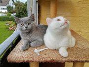 Kitten zu verkaufen katzenbabys