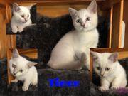 BKH kitten 11wochen alt impfpass