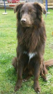 DECKRÜDE Australian Shepherd