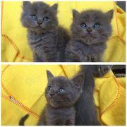 BKH BLH Kitten Kätzchen