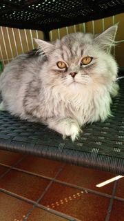 Maine Coone Perser Kitten weiblich -Kastriert