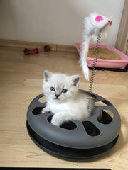 BKH Kitten zum Auszug bereit