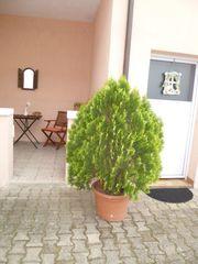 GelberThuja Busch Lebensbaum im Kübel