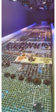 Korallen ab 10 Euro Meerwasser