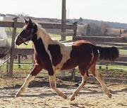 Pinto Pony Jährling Kleinpferd