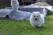 Pomeranian Zwergspitz Welpen schneeweiß Boo