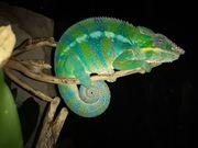 Pantherchamäleon blau männlich ADULT