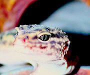 2 Angramainyu Leopardgecko Mädchen ca