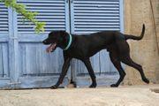 TOMEO Dogge-Pastor Mallorquin Mischling - imposanter