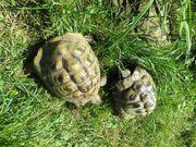 Griechische Landschildkröten Testudo hermanni Böcke