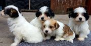 zuckersüße wuschlige Chihuahua Malteser Mix