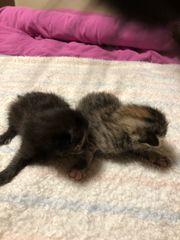 Katzen Babys europäische kurzhaar