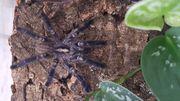 Poecilotheria metallica Acanthoscurria geniculata