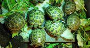 Russische Vierzehn Landschildkröte