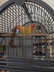 Agapornidenpärchen inkl Käfig