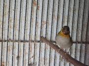 Kubafinken Henne Prachtfinken Exoten