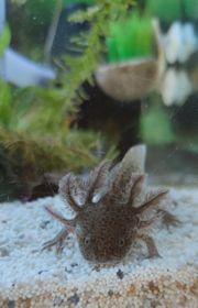 Wunderschöne Axolotl Wassermonster