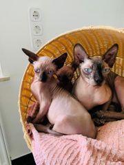 Sphynx Kater Kätzchen zu verkaufen