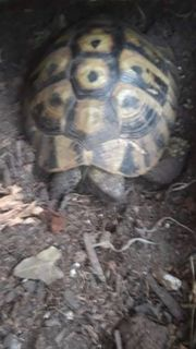 Landschildkröte zu verkaufen