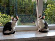 8 Maikatzen Kittten Katzenkinder Babykatzen