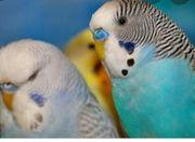 Wellensittiche nestjunge