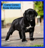 CANE CORSO Welpen extra just