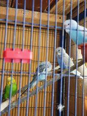 Wellensittiche und Kanarienvögel