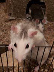 Ratten-Weibchen suchen ein neues Zuhause