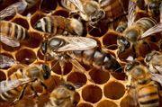Carnica Bienenvölker